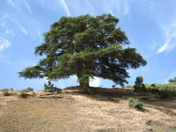 Cây gỗ Cedre Atlas